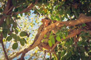 Mono salvaje en India