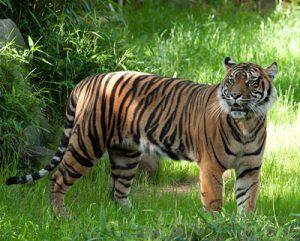 Tigres en ranthambore